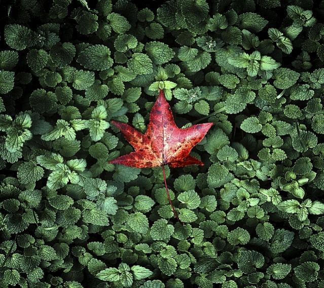 Click image for larger version  Name:red_leaf.jpg Views:311 Size:112.8 KB ID:1384186